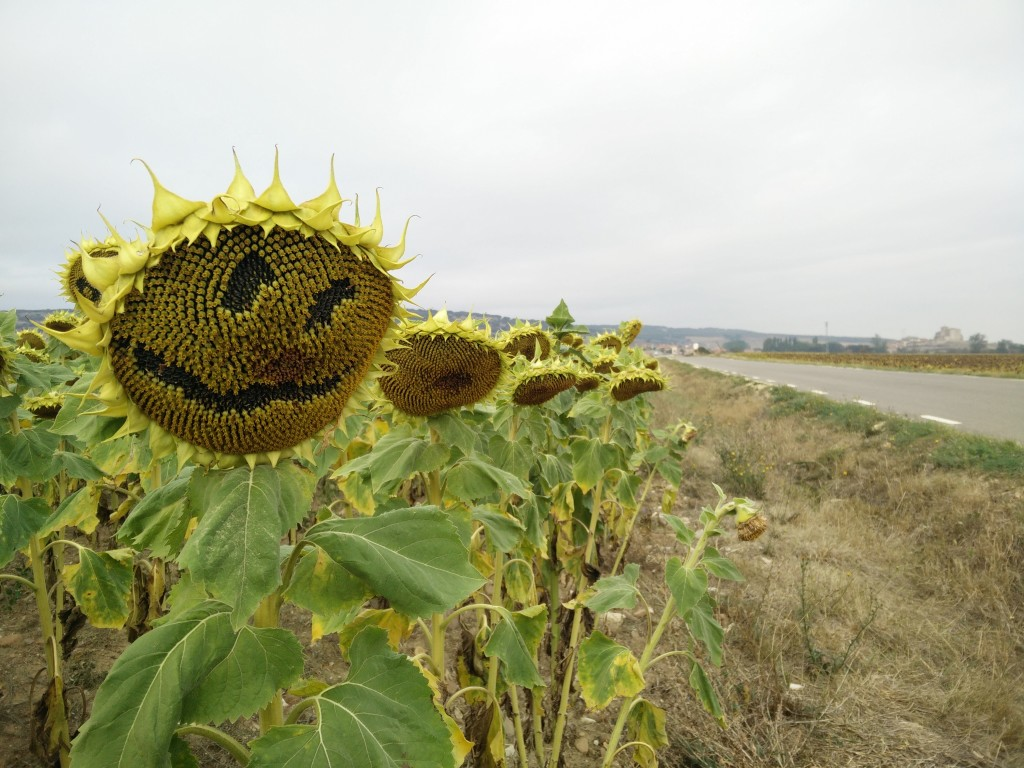 camino_sunflowers